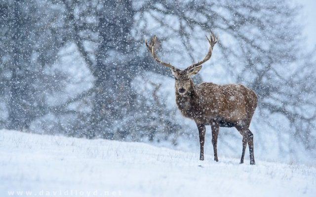 snow richmond park london stag