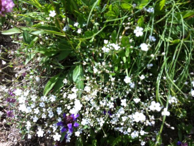 mountain flowers summer morzine